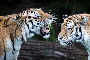 Tiger Jason Brown cropped